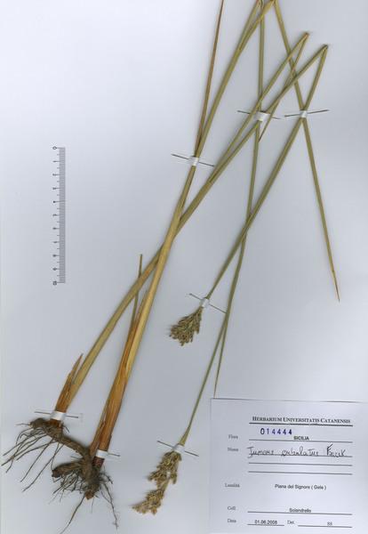 Juncus subulatus Forssk.