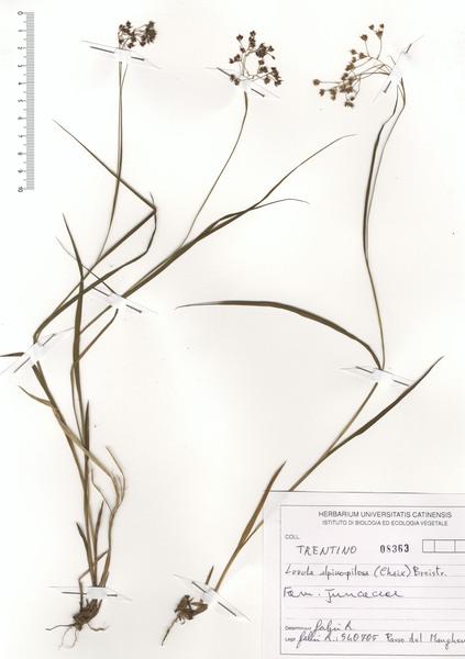 Luzula alpinopilosa (Chaix) Breistr. subsp. alpinopilosa