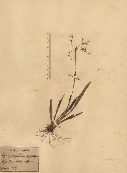 Luzula pedemontana Boiss. & Reut.