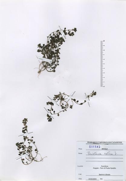 Parietaria cretica L.