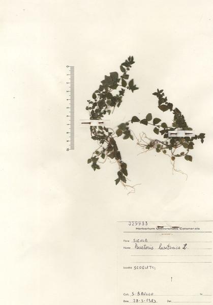 Parietaria lusitanica L. subsp. lusitanica