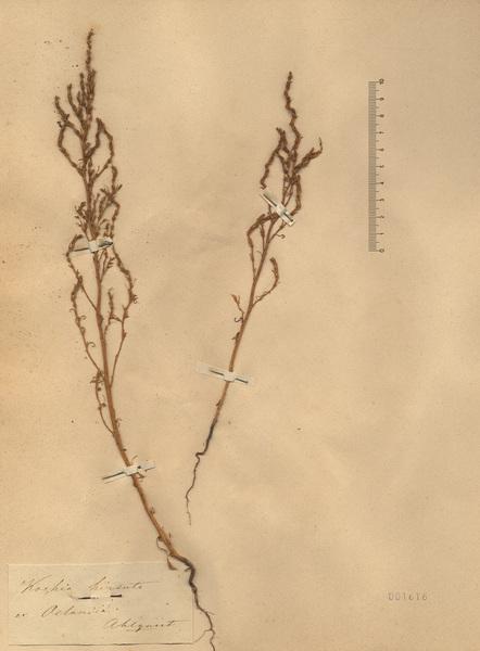 Spirobassia hirsuta (L.) Freitag & G.Kadereit