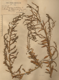 Dysphania ambrosioides (L.) Mosyakin & Clemants