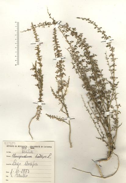 Dysphania botrys (L.) Mosyakin & Clemants