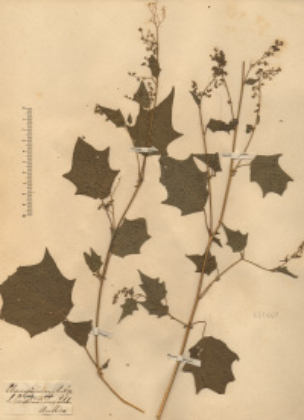 Chenopodiastrum hybridum (L.) S.Fuentes, Uotila & Borsch