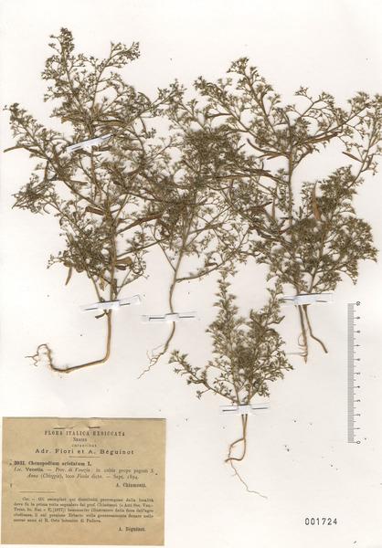 Teloxys aristata (L.) Moq.