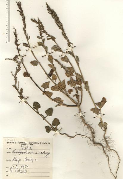 Oxybasis urbica (L.) S.Fuentes, Uotila & Borsch
