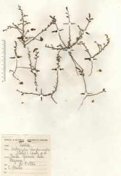 Halopeplis amplexicaulis (Vahl) Ces., Pass. & Gibelli