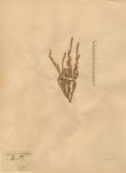 Arthrocaulon macrostachyum (Moric.) Piirainen & G.Kadereit