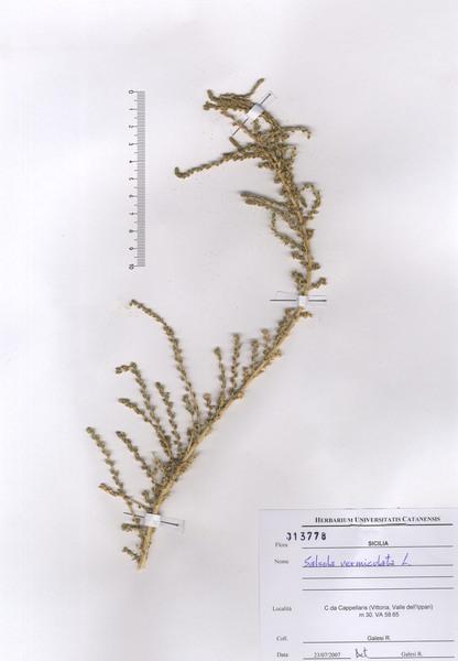 Caroxylon vermiculatum (L.) Akhani & E.H.Roalson