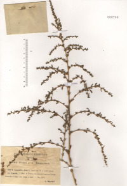 Amaranthus albus L.
