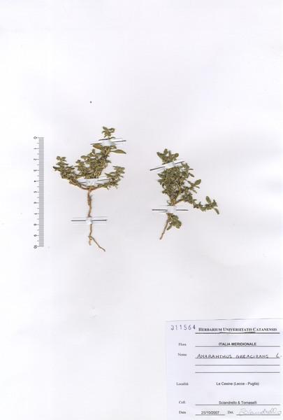 Amaranthus graecizans L. subsp. silvestris (Vill.) Brenan