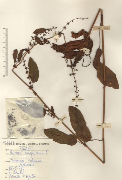 Rumex sanguineus L.