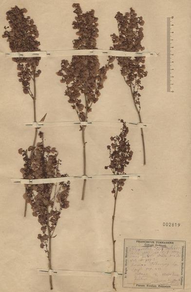 Rumex tuberosus L. subsp. tuberosus