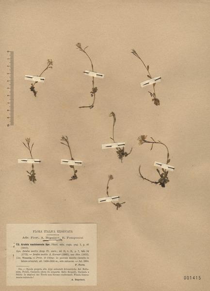 Arabis arabiformis (Hohenw.) Soldano