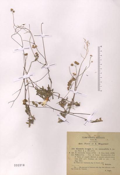 Biscutella coronopifolia L.