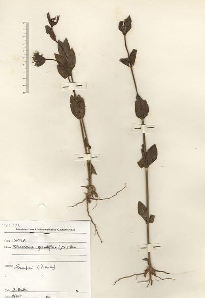 Blackstonia grandiflora (Viv.) Pau
