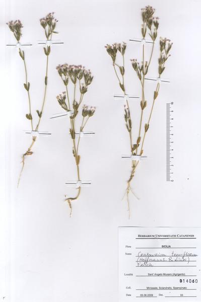 Centaurium tenuiflorum (Hoffmanns. & Link) Fritsch subsp. tenuiflorum