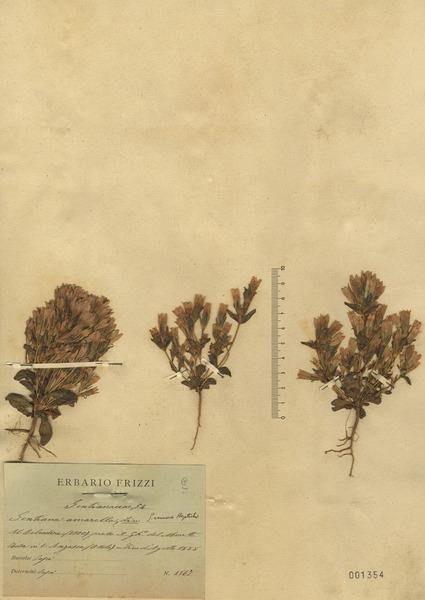 Gentianella amarella (L.) Börner
