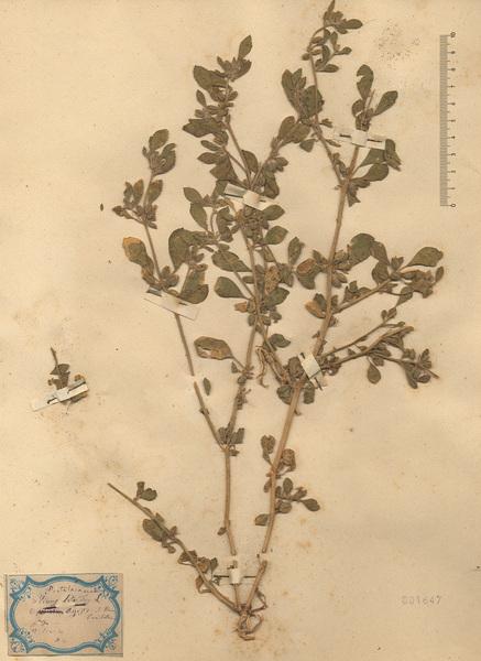 Glinus lotoides L.
