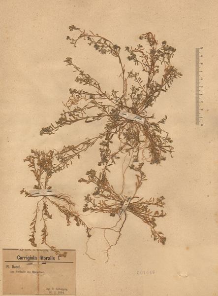 Corrigiola litoralis L. subsp. litoralis
