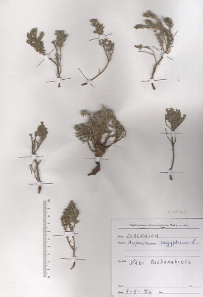 Hypericum aegypticum L.
