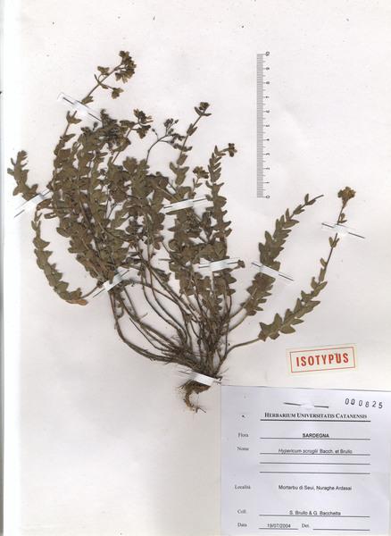 Hypericum scruglii Bacch., Brullo & Salmeri