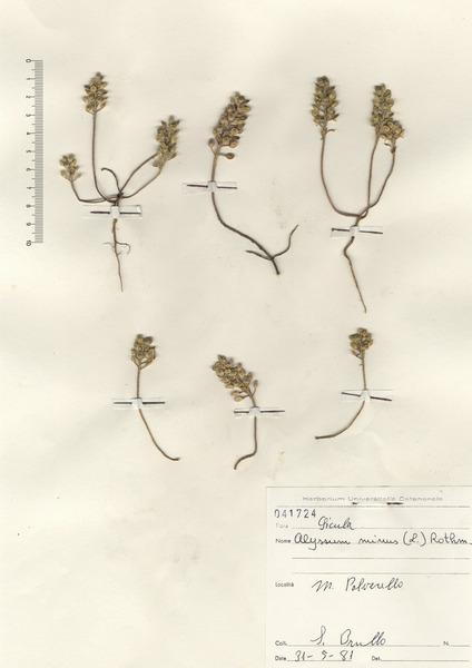 Alyssum simplex Rudolphi