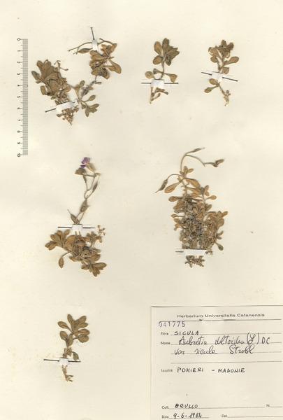 Aubrieta deltoidea (L.) DC.