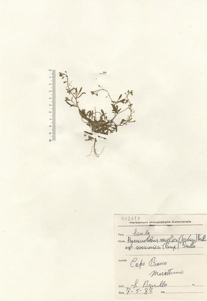 Hornungia procumbens (L.) Hayek