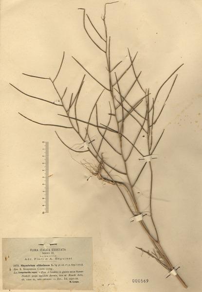 Sisymbrium altissimum L.