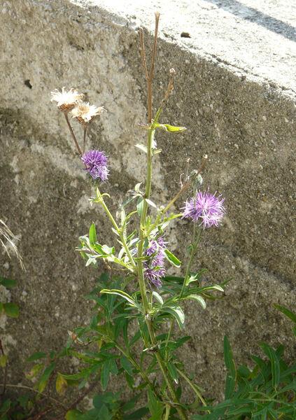 Centaurea scabiosa L. subsp. grinensis (Reut.) Nyman