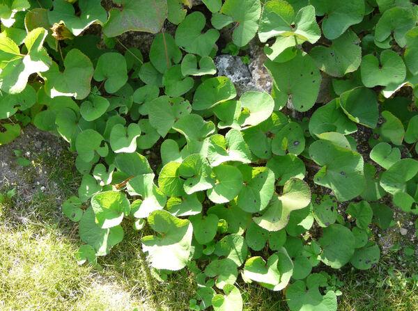 Petasites albus (L.) Gaertn.