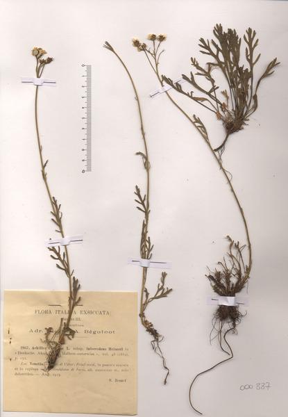 Achillea clavennae L.