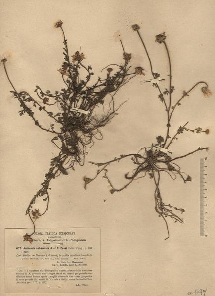 Anthemis arvensis L. subsp. sphacelata (C.Presl) R.Fern.