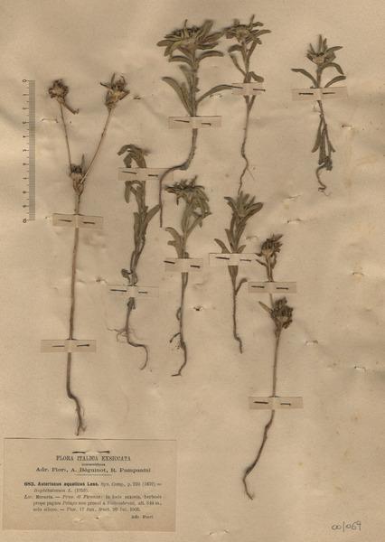Asteriscus aquaticus (L.) Less.