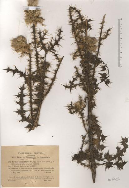 Carduus fasciculiflorus Viv.