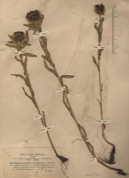 Centaurea nervosa Willd. subsp. nervosa