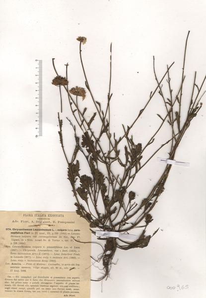 Leucanthemum coronopifolium Vill.