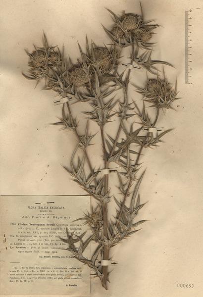 Cirsium tenoreanum Petr.