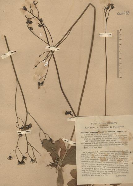 Crepis praemorsa (L.) Walther