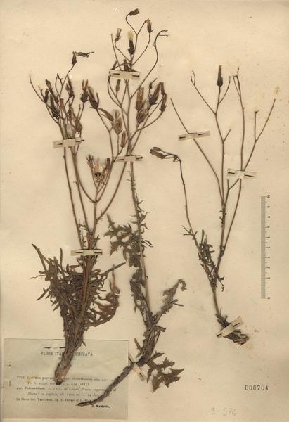 Lactuca perennis L.