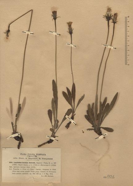 Leontodon incanus (L.) Schrank s.l.