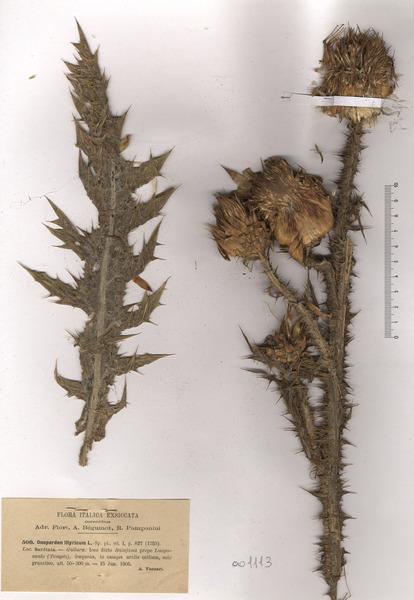 Onopordum illyricum L. subsp. illyricum