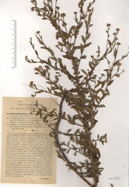 Pulicaria microcephala Lange