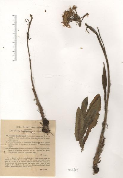 Tephroseris longifolia (Jacq.) Griseb. & Schenk subsp. gaudinii (Gremli) Kerguélen