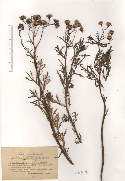 Senecio squalidus L. subsp. squalidus