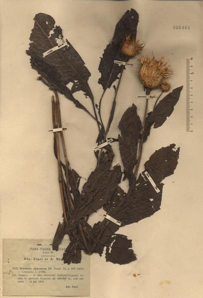 Klasea flavescens (L.) Holub subsp. cichoracea (L.) Greuter & Wagenitz