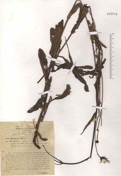 Sonchus arvensis L. subsp. arvensis