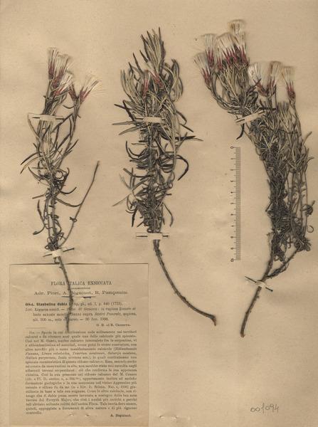 Staehelina dubia L.